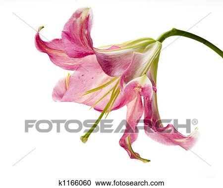 颜色, 图画, 在中, 百合花, 花, 对, 白的背景