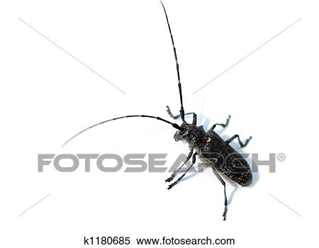 Stock Image   bug with long antenna  Fotosearch   Search Stock Photos   Mural Pictures. Stock Image of bug with long antenna k1180685   Search Stock