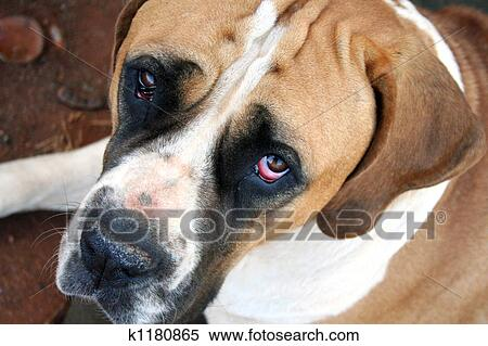 Brown And White Dog Stock Image of ...