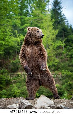 熊乃瑺yak9�+�,_图吧- 大, 棕色的熊, 站, 在上, 他的, 后面的腿.