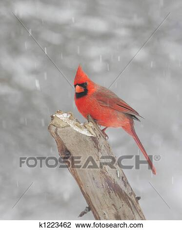 Stock Photo of Northern Cardinal In Snow k1223462 - Search ...