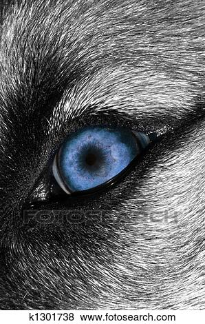 pictures of wolf eye bluer k1301738 search stock photos