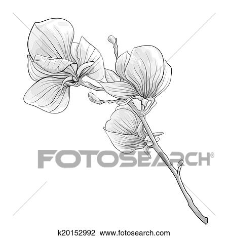 Clipart of beautiful monochrome black and white twig blossoming beautiful monochrome black and white twig blossoming magnolia tree flower isolated hand drawn contour lines and strokes mightylinksfo