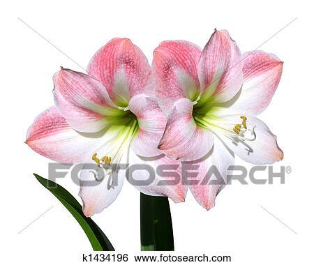 Banque d 39 images amaryllis fleurs roses isol k1434196 for Amaryllis rose