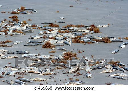 Stock Photo Of Dead Fish On The Beach K1455653 Search