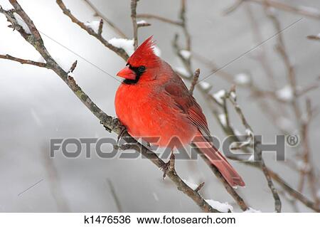 Stock images of cardinal in snow k1476536 search stock - Pictures of cardinals in snow ...
