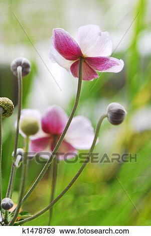 Archivio fotografico anemone giapponese k1478769 for Anemone giapponese