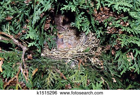 Purple Finch Nest Stock Images of Purple...