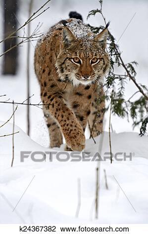 Archivio fotografico inverno lince k24367382 cerca - Animali in inverno clipart ...