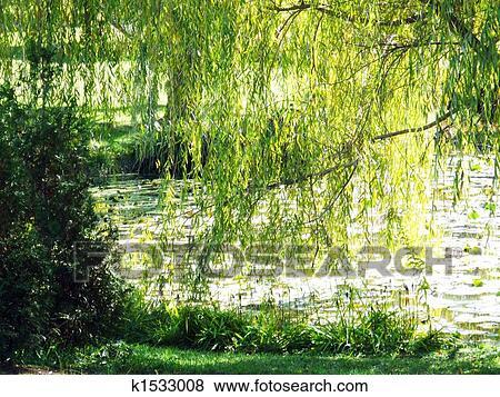 images saule pleureur arbre et eau k1533008 recherchez des photos des images des. Black Bedroom Furniture Sets. Home Design Ideas