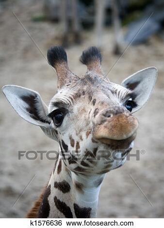 Banque d 39 images mignon girafe k1576636 recherchez des - Girafe rigolote ...