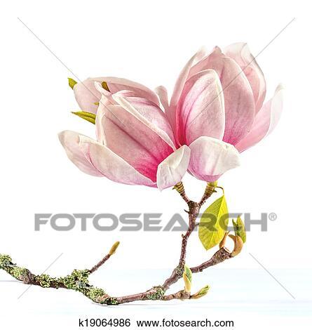 magnolia branch clip art - photo #25