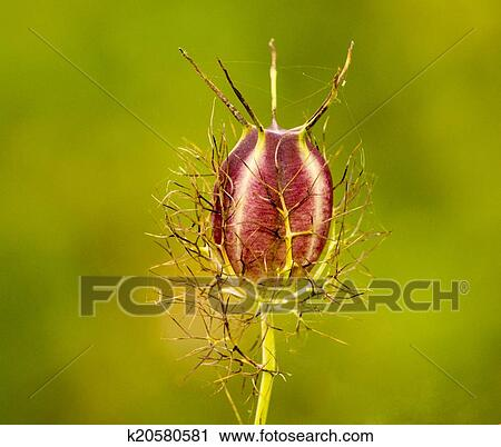 stock photography of nigella seed head k20580581 search stock photos pictures prints images. Black Bedroom Furniture Sets. Home Design Ideas