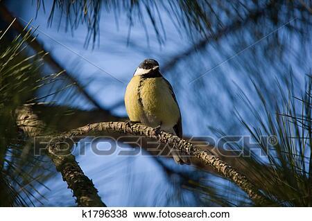 松树-图片属鸟,在上,分支,山雀长耳抱抱兔公仔图片
