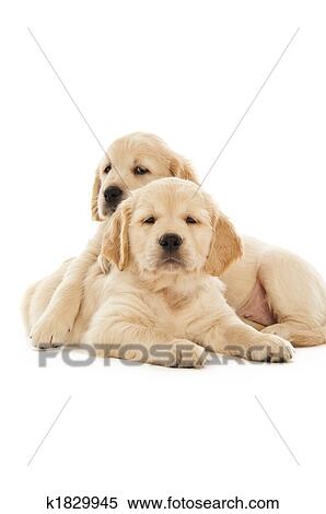 Stock Image of Golden Retriever puppies k1829945 - Search Stock Photos, Mural Pictures ...
