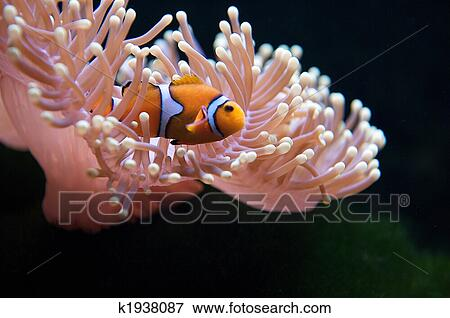 Picture of Clownfish and Anemone k1938087 - Search Stock ...