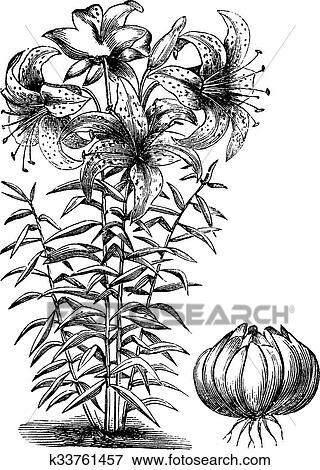 剪贴画 - 镀金, 百合花, (lilium, auratum), 葡萄收获期, 雕刻