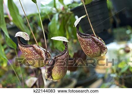 stock foto nepenthe tropische fleischfresser pflanze k22144083 suche stock fotografien. Black Bedroom Furniture Sets. Home Design Ideas