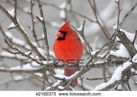 Stock Photo of Cardinal In Snow k2182373 - Search Stock ...