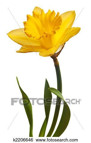 Archivio di immagini giallo narciso isolato k2206646 for Narciso giallo