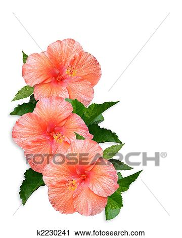 Clipart of hibiscus flowers white background k2230241 search clip clipart hibiscus flowers white background fotosearch search clip art illustration murals mightylinksfo