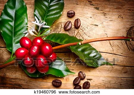 stock images of coffee plant red coffee beans on a branch of coffee tree k19460796 search. Black Bedroom Furniture Sets. Home Design Ideas