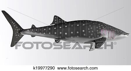Banque d 39 illustrations requin baleine profil lat ral - Requin baleine dessin ...