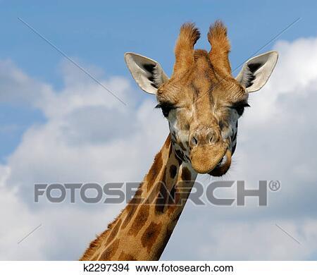 Banque de photo mignon girafe k2297394 recherchez des - Girafe rigolote ...
