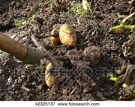Immagine raccolta patate k2325137 cerca archivi for Raccolta patate