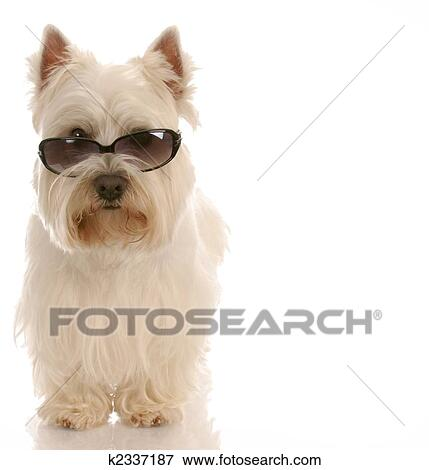 Picture of west highland white terrier wearing cool sunglasses on ...