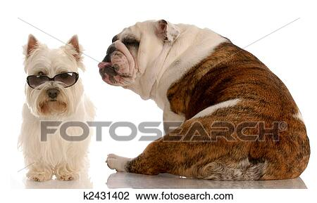 Archivio fotografico divertente cane lotta bulldog for Testardo in inglese