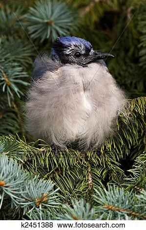 刚会飞的小鸟, 蓝的jay, 鸟