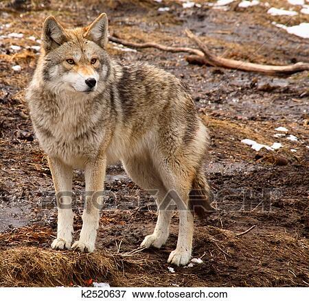 image coyote sur a printemps jour k2520637 recherchez des photos des images des. Black Bedroom Furniture Sets. Home Design Ideas