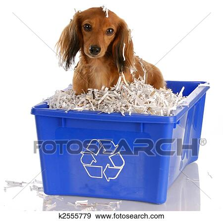 Stock Photograph of long haired miniature dachshund sitting in ...