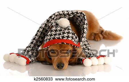 Stock Photo of long haired miniature dachshund wearing winter hat ...