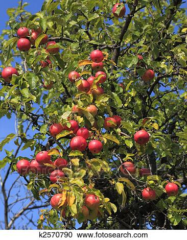 Stock photography of apple tree detail k2570790 search for Apple tree mural