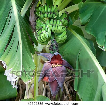 Archivio immagini banane maturazione su il albero for Albero di banane