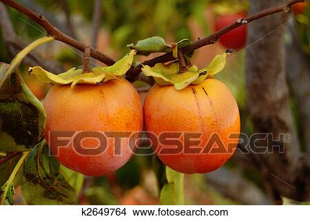 Banque de photo kaki branche arbre m re fruits - Arbre a kaki ...