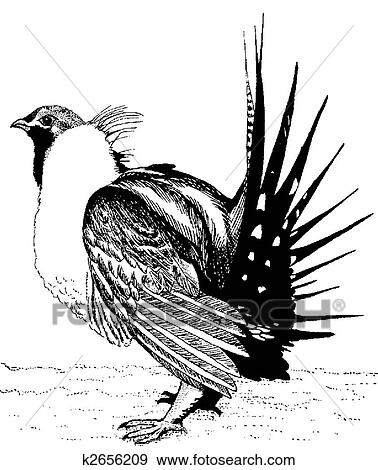 Sage grouse drawing - photo#2