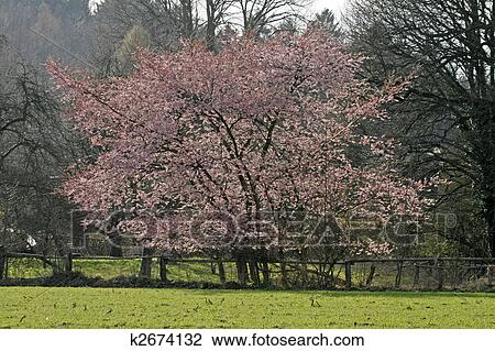 日语, 樱桃树, 在中, 春天图片