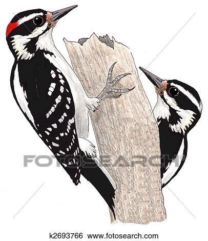 stock illustration of hairy woodpecker k2693766 search