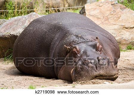 images dormir hippopotame k2719098 recherchez des photos des images des photographies et. Black Bedroom Furniture Sets. Home Design Ideas