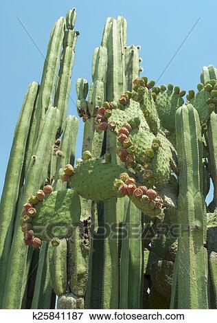 bild kaktus arten gefunden in zentrales mexiko k25841187 suche stockfotografie fotos. Black Bedroom Furniture Sets. Home Design Ideas