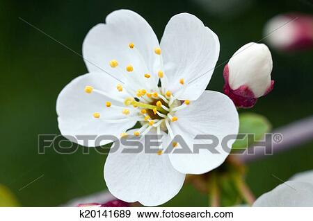 创意摄影图片库 - 樱桃花图片