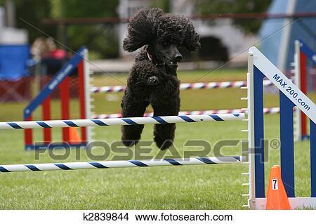 Dessins caniche standard faire chien agilit k2839844 recherche de clip arts d - Dessin caniche ...