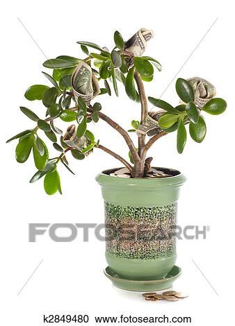 banques de photographies potted maison plante crassula billets dollar dans fleur. Black Bedroom Furniture Sets. Home Design Ideas