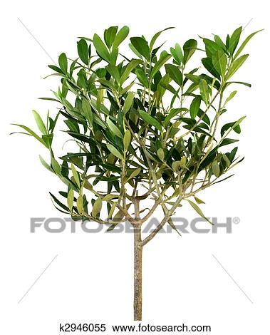 Archivio immagini giovane olivo k2946055 cerca for Acquisto piante olivo