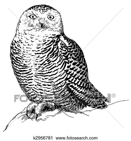 Clipart of Snowy Owl k2956781 - Search Clip Art ...