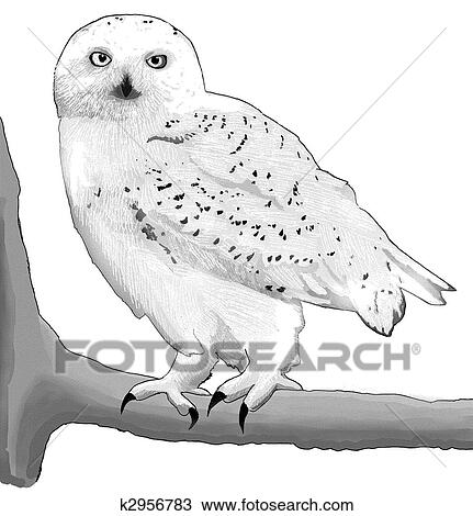 Drawing of Snowy Owl k2956783 - Search Clipart ...