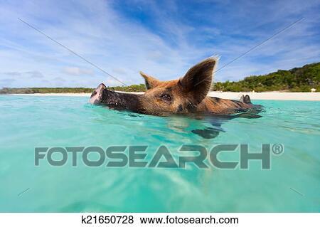 图片- 游泳, 猪, 在上, exuma, 岛图片